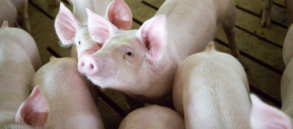 martin family farms piglets